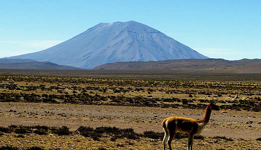 Background of Volcan Misti - Vicuñas on the backside of Misti volcano