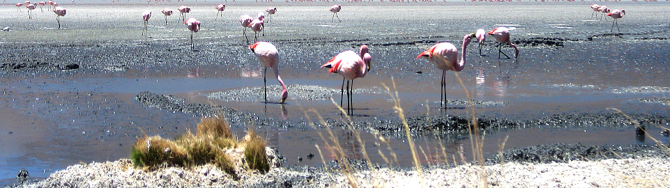 Flamingos In Lagunas De Salinas