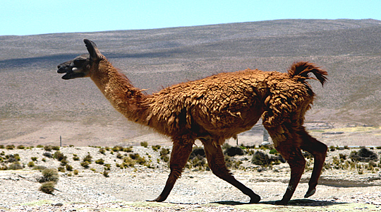 Lama or Llama Walking at high Altitude On The Andes Of Peru