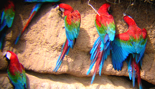 Macaw Clay Lick In The Amazon Of Peru