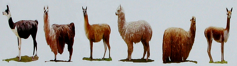 Camelids Of The Andes Of Peru