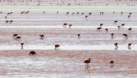 Andean Pink Flamingos - Salinas Salt Lake