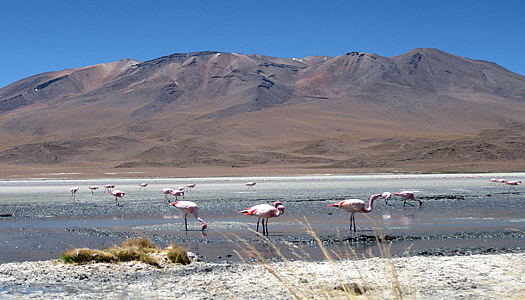 Pink Flamingos In Peru