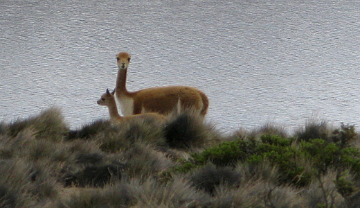 Vicuña Facing